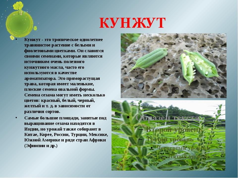 КУНЖУТ Кунжут - это тропическое однолетнее травянистое растение с белыми и фи...