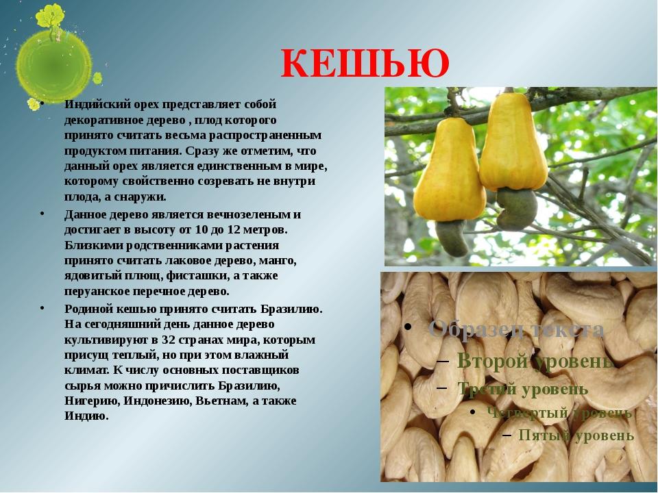 КЕШЬЮ Индийский орех представляет собой декоративное дерево , плод которого п...