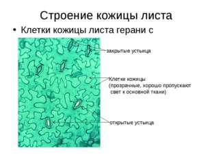 Строение кожицы листа Клетки кожицы листа герани с устьицами закрытые устьица