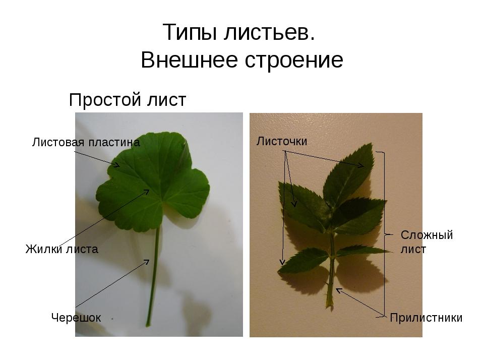 Типы листьев. Внешнее строение Простой лист Сложный лист Листовая пластина Че...