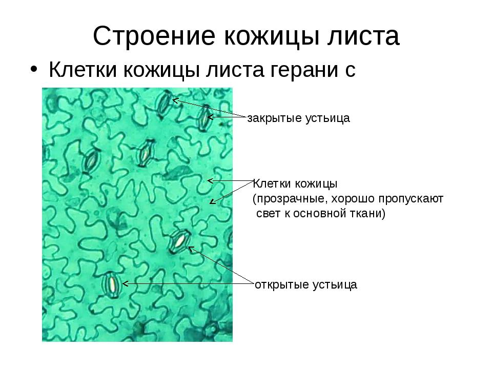 Строение кожицы листа Клетки кожицы листа герани с устьицами закрытые устьица...