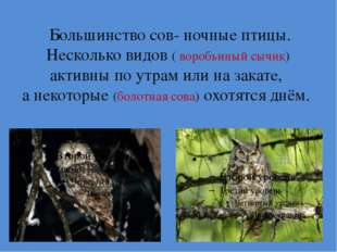 Большинство сов- ночные птицы. Несколько видов ( воробьиный сычик) активны п