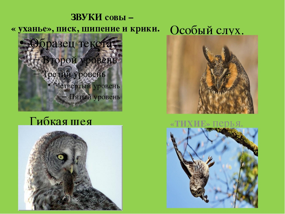 ЗВУКИ совы – « уханье», писк, шипение и крики. «ТИХИЕ» перья. Гибкая шея Осо...