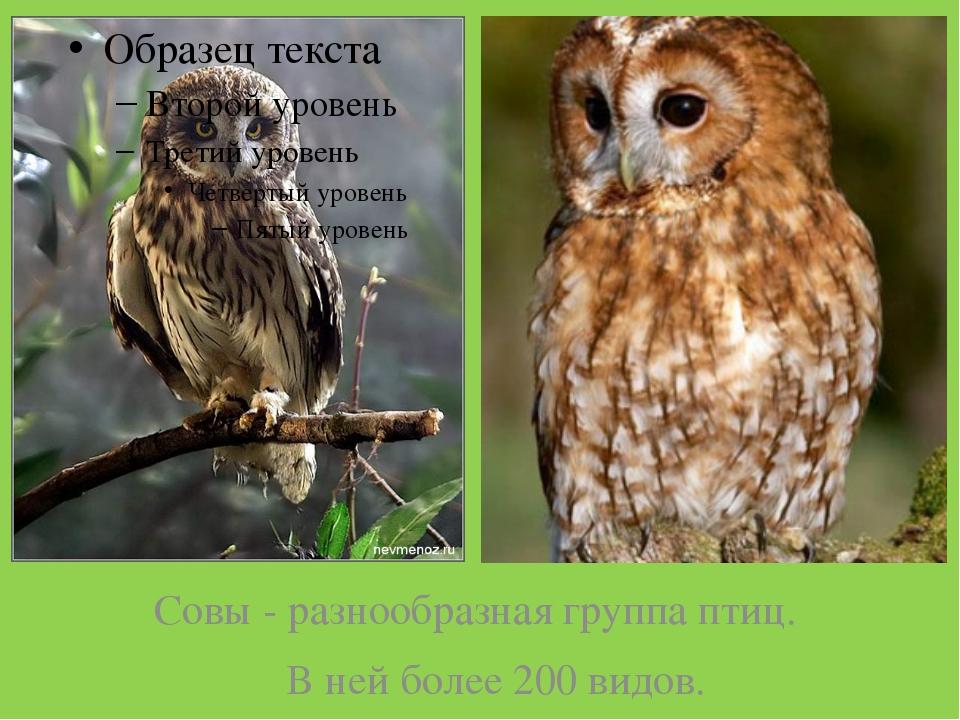 Совы - разнообразная группа птиц. В ней более 200 видов.