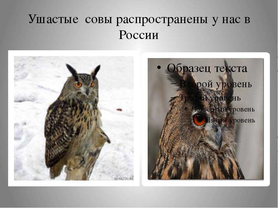 Ушастые совы распространены у нас в России