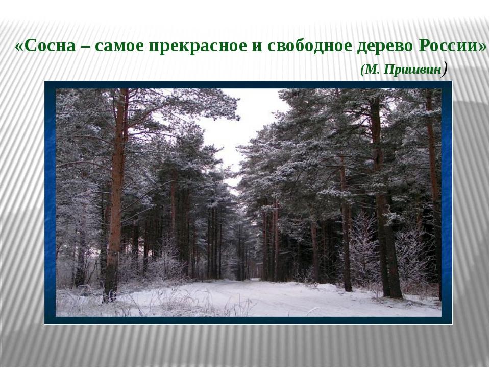 «Сосна – самое прекрасное и свободное дерево России» (М. Пришвин)