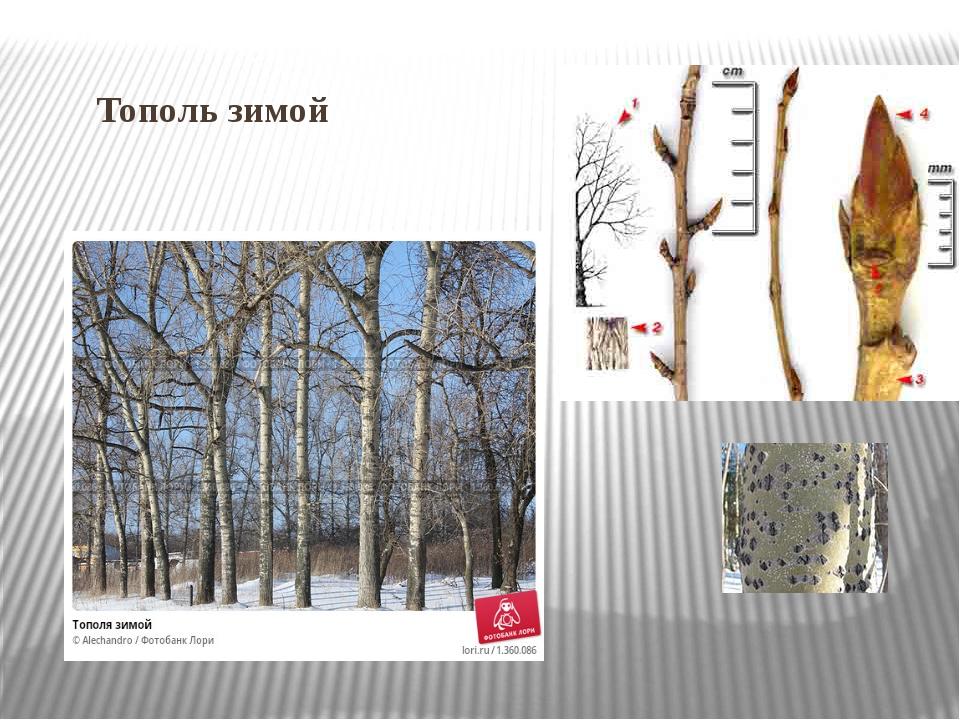 Тополь зимой