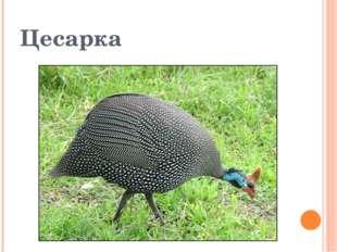 Цесарка