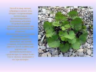 Настой и отвар листьев, собранных в начале лета, обладает отхаркивающим, мягч