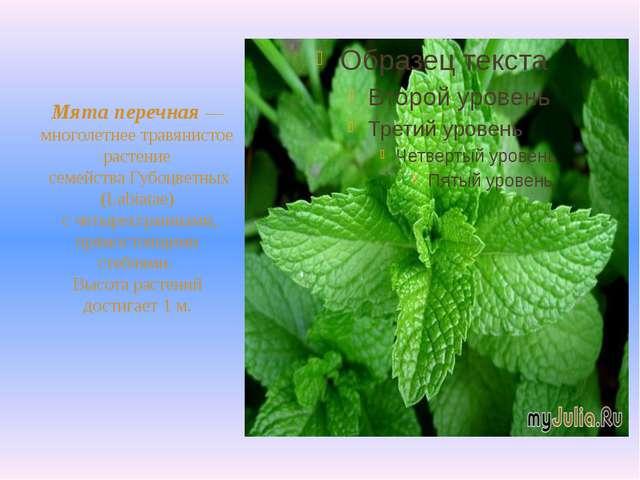 Мята перечная— многолетнее травянистое растение семейства Губоцветных (Labi...