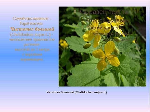 Чистотел большой (Chelidonium majus L.) Семейство маковые – Papaveraceae. Чис...