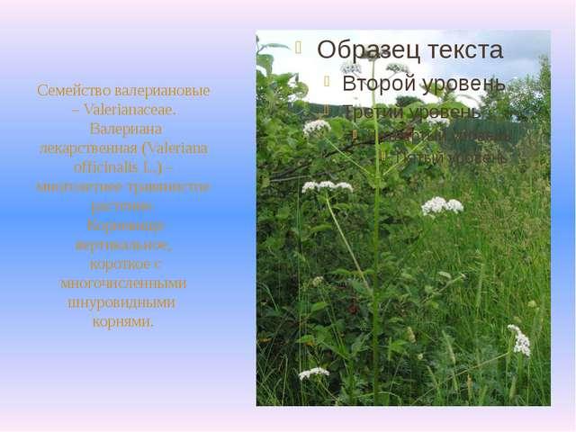 Семейство валериановые – Valerianaceae. Валериана лекарственная (Valeriana o...