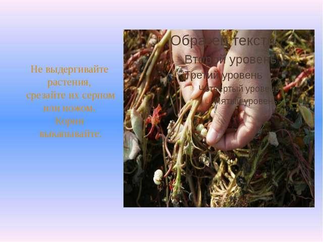 Не выдергивайте растения, срезайте их серпом или ножом. Корни выкапывайте.