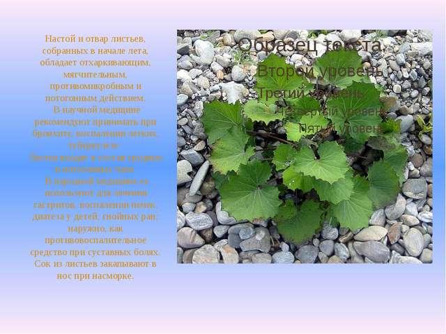 Настой и отвар листьев, собранных в начале лета, обладает отхаркивающим, мягч...