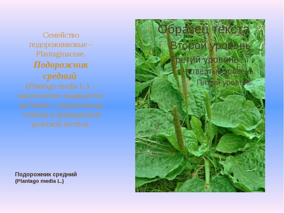 Подорожник средний (Plantago media L.) Семейство подорожниковые – Plantaginac...