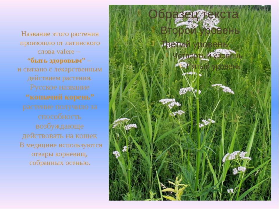 """Название этого растения произошло от латинского слова valere – """"быть здоровы..."""