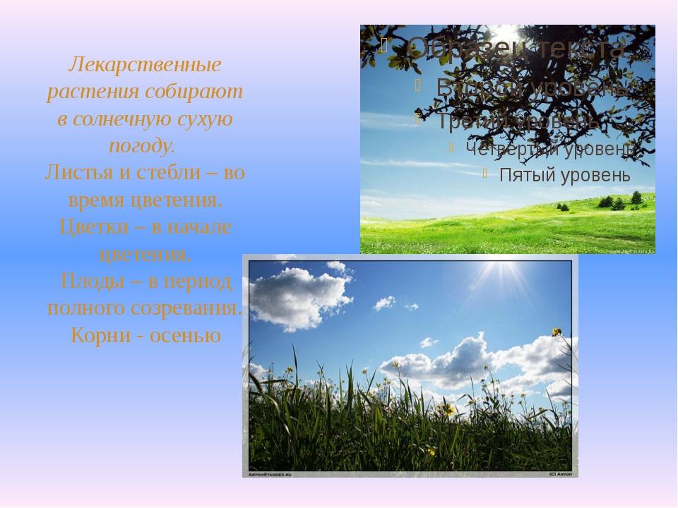 Лекарственные растения собирают в солнечную сухую погоду. Листья и стебли – в...