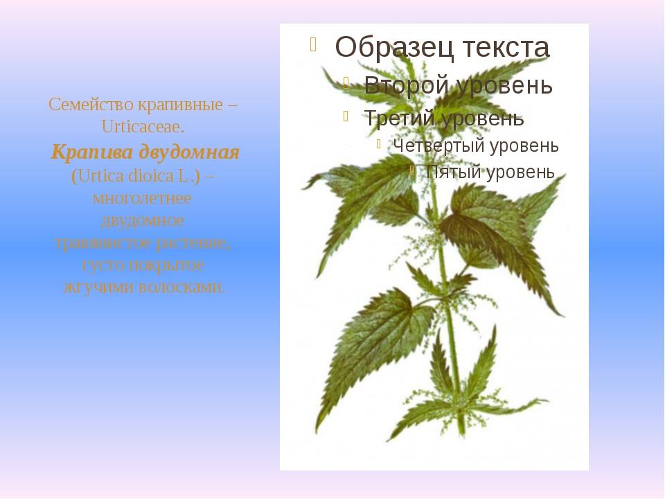 Семейство крапивные – Urticaceae. Крапива двудомная (Urtica dioica L.) – мно...