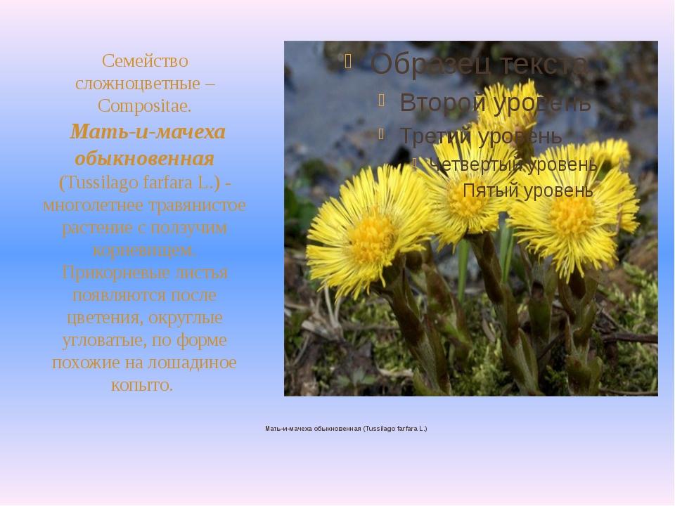 Мать-и-мачеха обыкновенная (Tussilago farfara L.) Семейство сложноцветные –...