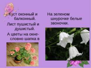 Куст оконный и балконный. Лист пушистый и душистый. А цветы на окне- словно ш
