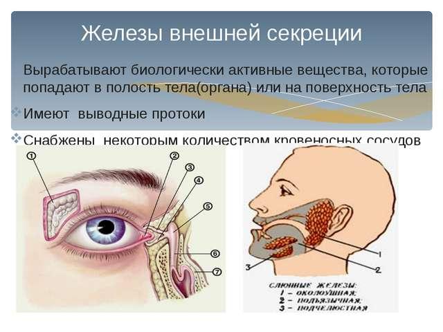 Железы внешней секреции Вырабатывают биологически активные вещества, которые...
