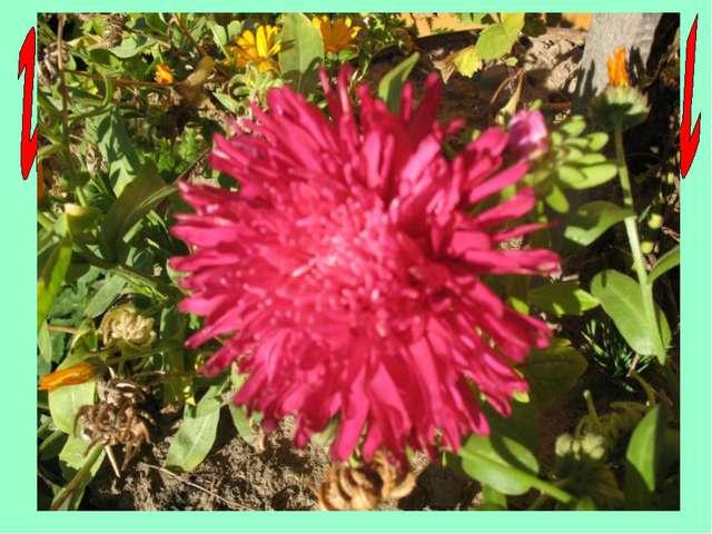 Назовите цветок – талисман сентября. А Т С Р А