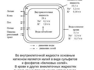 Во внутриклеточной жидкости основным катионом является калий в виде сульфатов
