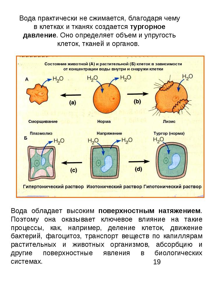Вода практически не сжимается, благодаря чему в клетках и тканях создается ту...
