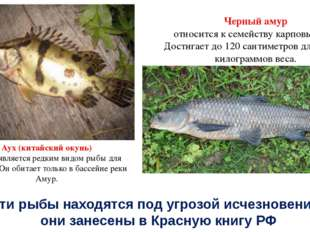 Аух (китайский окунь) также является редким видом рыбы для России. Он обитает