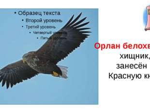 Орлан белохвостый хищник, занесён в Красную книгу