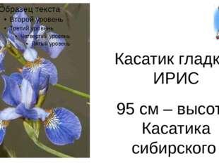 Касатик гладкий ИРИС 95 см – высота Касатика сибирского
