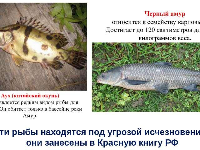 Аух (китайский окунь) также является редким видом рыбы для России. Он обитает...
