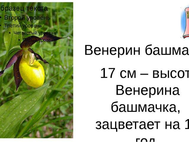 Венерин башмачок 17 см – высота Венерина башмачка, зацветает на 17 год.