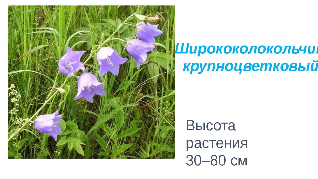 Высота растения 30–80 см Ширококолокольчик крупноцветковый
