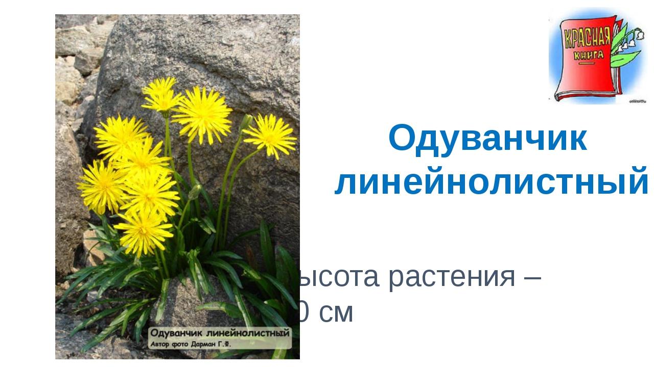 Высота растения – 20 см Одуванчик линейнолистный