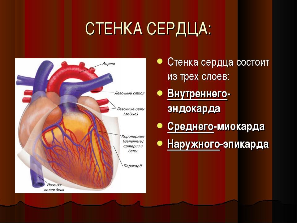 СТЕНКА СЕРДЦА: Стенка сердца состоит из трех слоев: Внутреннего-эндокарда Сре...