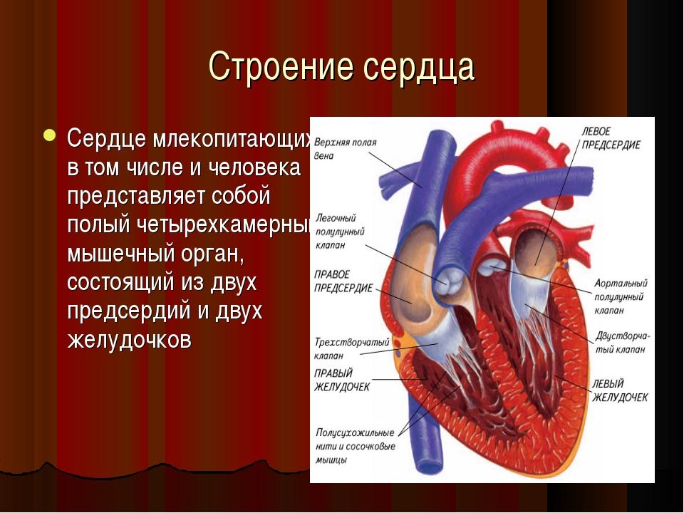 Строение сердца Сердце млекопитающих, в том числе и человека представляет соб...
