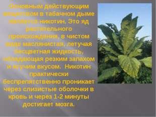 Основным действующим веществом в табачном дыме является никотин. Это яд расти