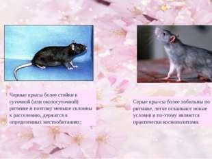 Черные крысы более стойки к суточной (или околосуточной) ритмике и поэтому ме