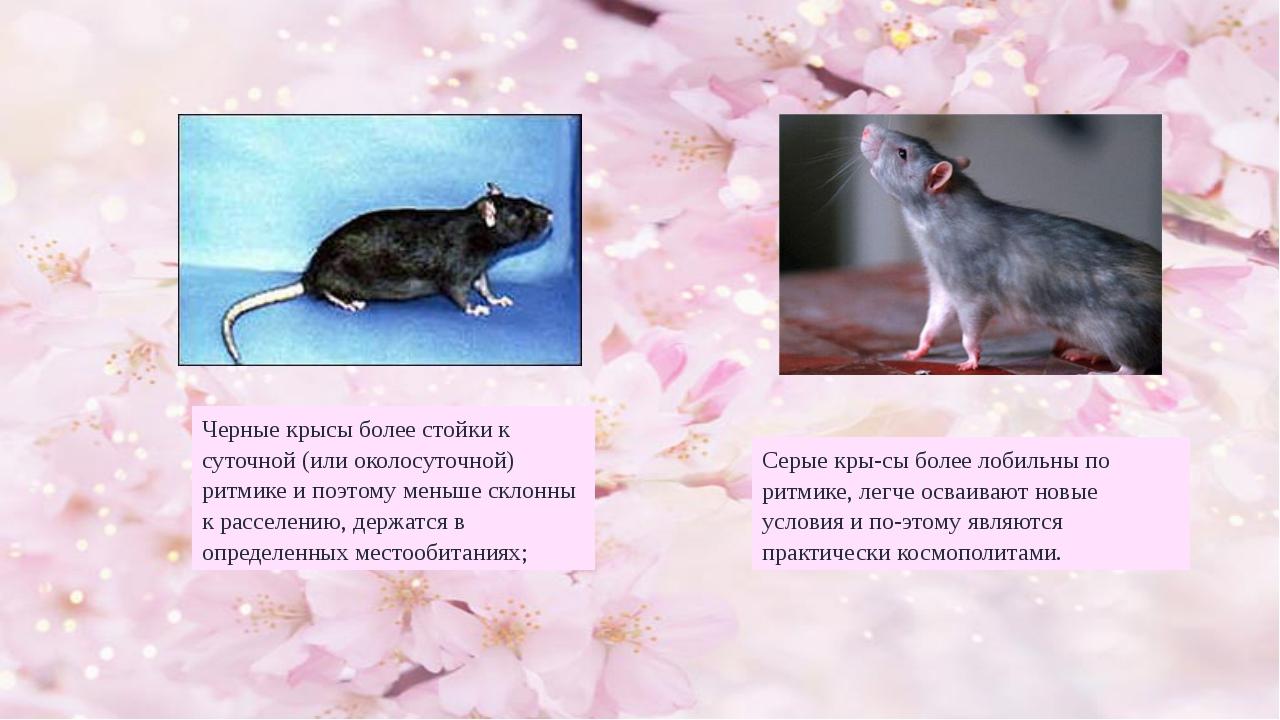 Черные крысы более стойки к суточной (или околосуточной) ритмике и поэтому ме...