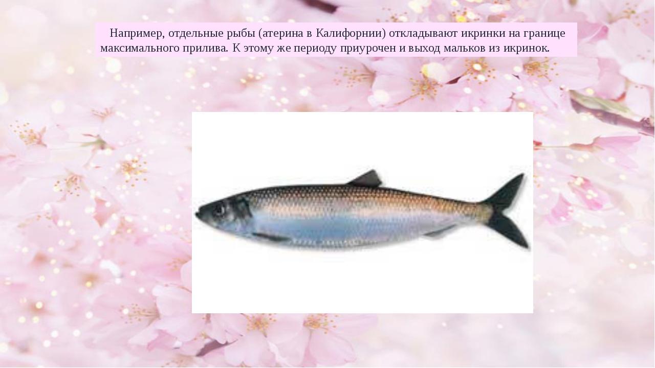 Например, отдельные рыбы (атерина в Калифорнии) откладывают икринки на грани...