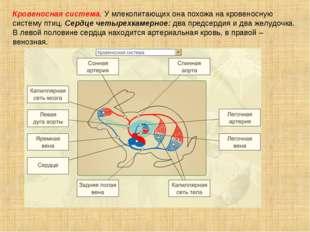 Кровеносная система. У млекопитающих она похожа на кровеносную систему птиц.