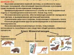 Эволюция млекопитающих сопровождалась целым рядом ароморфозов: Высоким развит