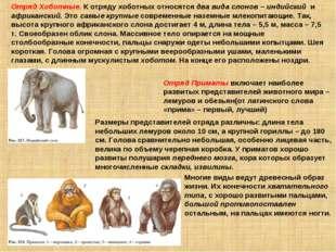 Отряд Хоботные. К отряду хоботных относятся два вида слонов – индийский и афр