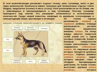 В теле млекопитающих различают отделы: голову, шею, туловище, хвост и две пар