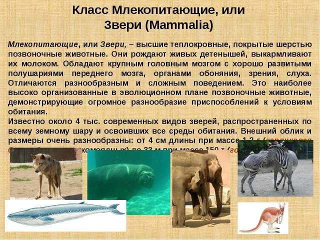 Класс Млекопитающие, или Звери (Mammalia) Млекопитающие, или Звери, – высшие...