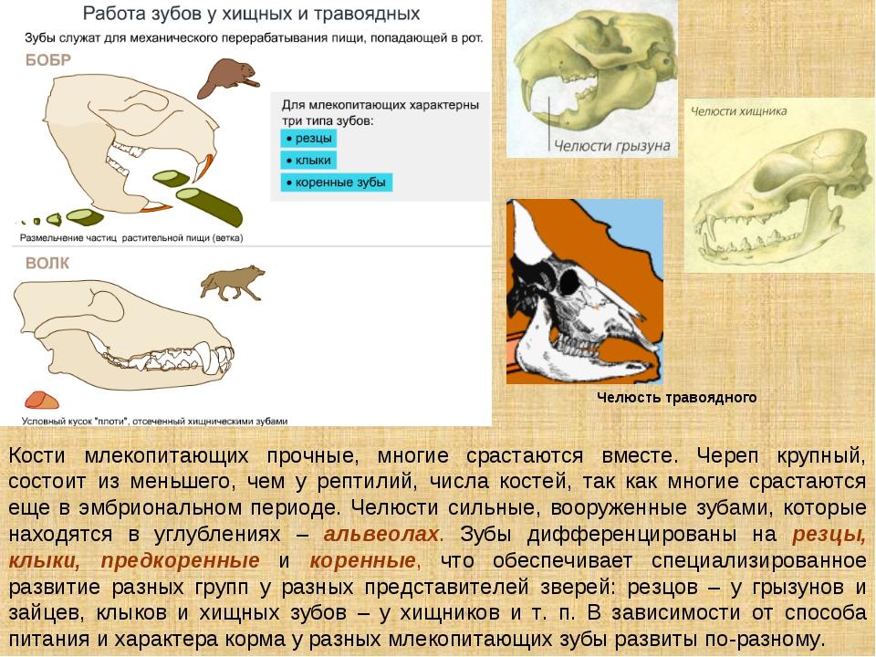 Кости млекопитающих прочные, многие срастаются вместе. Череп крупный, состоит...