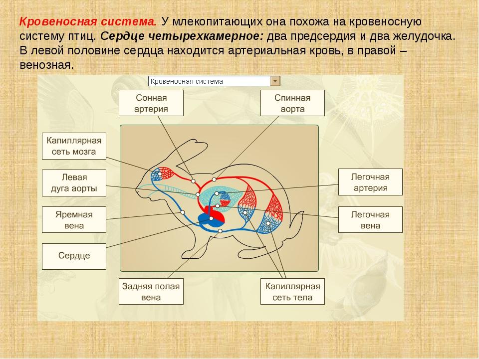Кровеносная система. У млекопитающих она похожа на кровеносную систему птиц....