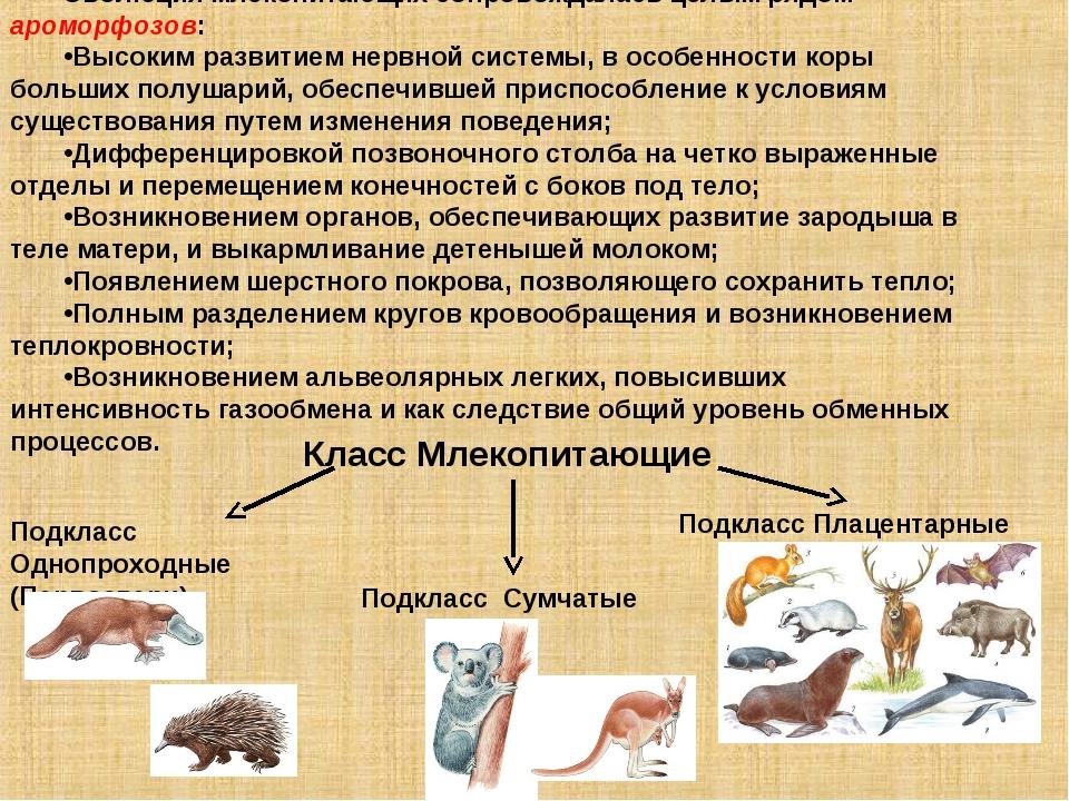 Эволюция млекопитающих сопровождалась целым рядом ароморфозов: Высоким развит...
