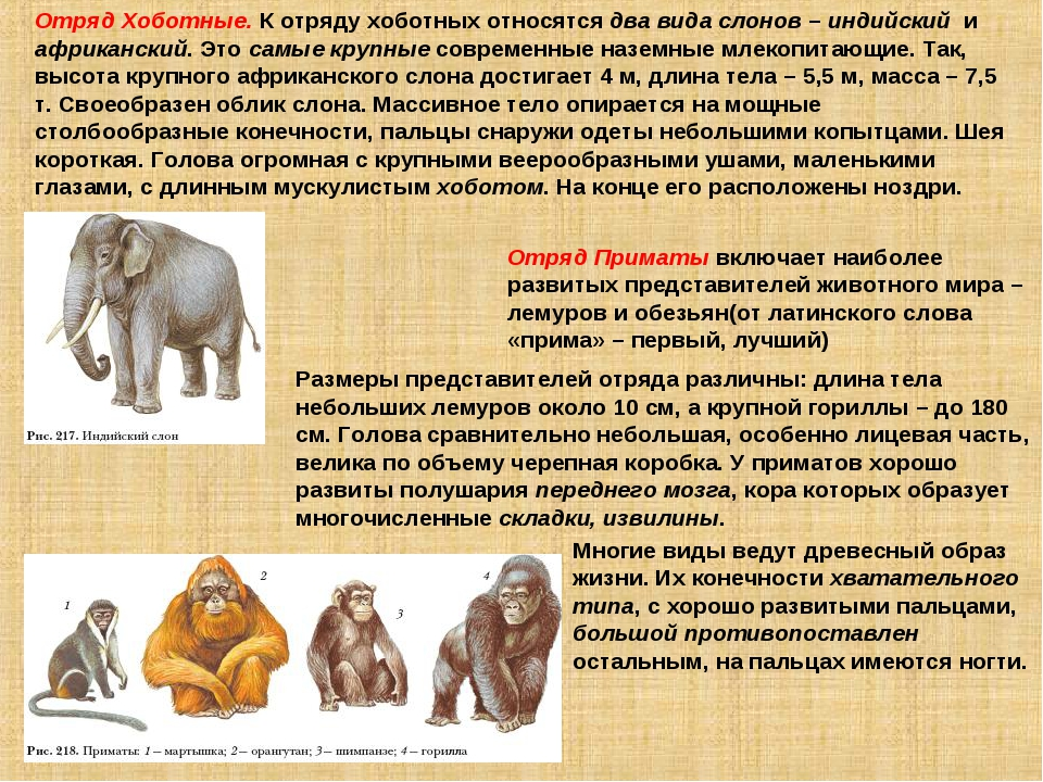 Отряд Хоботные. К отряду хоботных относятся два вида слонов – индийский и афр...